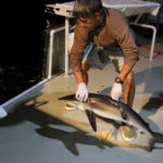 Pacific tuna tagging focus moves west