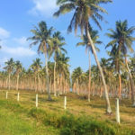 New coconut project aims to boost Pacific coconut industry