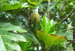 Photo caption: Tissue culture breadfruit tree of Samoas ma'afala growing in SPC CePaCT regional field genebank bearing fruits