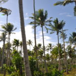 Pilot projects to boost Pacific coconut industry