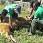 Improved communications addressed in Vanuatu Livestock Disease Emergency Response Plan