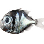 New fish species in New Caledonia