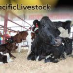 Vivre de l'élevage : pensée nouvelle pour les Fidji